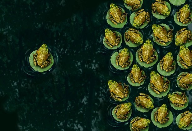 one small frog on lilypad facing group of frogs